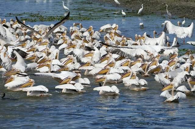 Roemenië Donau delta pelikanen