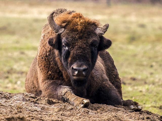 Polen Białowieża wisent bizon